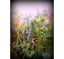 The Swallowtail Caterpillar 2 Photographic Print
