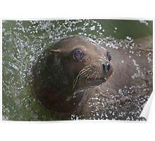 Sea lion ....... Poster