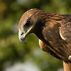 Golden Eagle by Matthew Walters