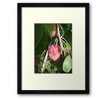 His Plums Framed Print