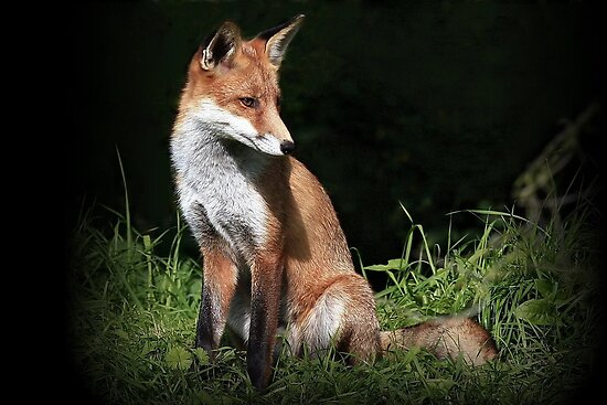 Red Fox - None captive by snapdecisions