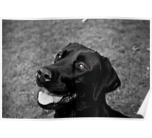 Black Lab - Lily Poster