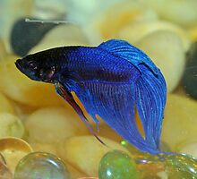 A Siamese Fighting Fish.... by Larry Llewellyn