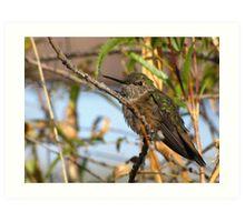 Allen's Hummingbird ~ (Subadult Male) Art Print