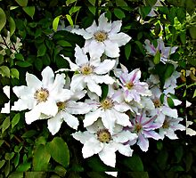Delicate and Exquisite - Clematis in Mirrored Frame by BlueMoonRose