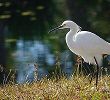 Egret by Karen Checca