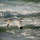 ibis in flight by Mark de Jong