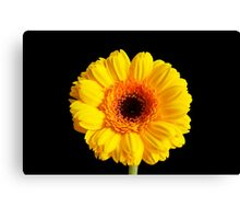 Yellow Gerber #1 Canvas Print