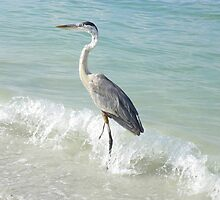 Great Blue Heron catches a Wave! by Caren