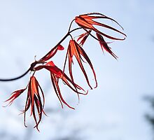 Pouncing Red Maple by Helen K. Passey