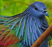 Nicobar Pigeon by Winston D. Munnings
