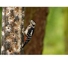 The Woodpecker Of Sherwood Photographic Print