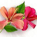 Hibiscus in bloom by missmoneypenny
