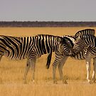 Burchell's Zebra - Etosha National Park by Namibia Tours  & Safaris