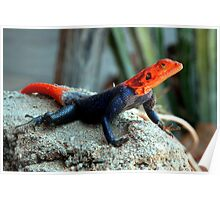 Rock Agama - Namibia Poster