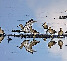 Long-billed Dowitcher (Limnodromus scolopaceus)   by Chuck Gardner