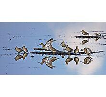 Long-billed Dowitcher (Limnodromus scolopaceus)   Photographic Print