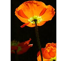 Poppy so Bright! Photographic Print