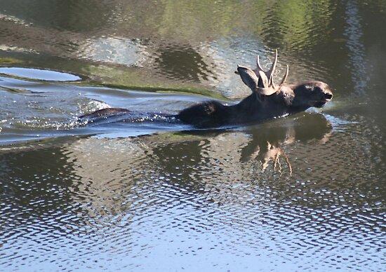 Swimming Moose by PrairieRose