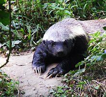 The Honey Badger by Katherine Hodgson