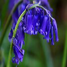 Bluebell  (Spring) by Trevor Kersley