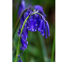 Bluebell  (Spring) Photographic Print