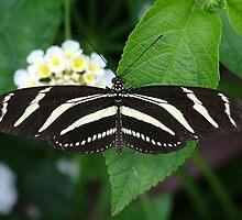 Butterfly by Matt Buckland