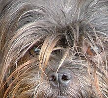 Affenpinscher by Valeria Lee
