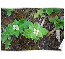 Bunchberry Dogwood Poster