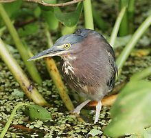 Green Heron ..Southern Mexico Rain Forest by Paul Watkins