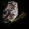 Little Owl / None Captive by snapdecisions