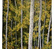 Yosemite Park Trees [013] Photographic Print