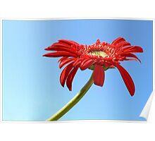 Daisy of Reddest Reds Poster