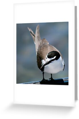Bridled Tern, Penguin Is. W.A.  by Margaret Stanton