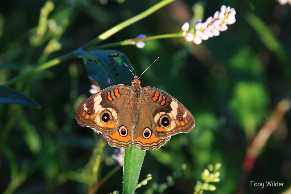 Buckeye Butterfly - Ohio by Tony Wilder