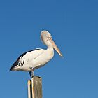 Pelican, Mallacoota, Victoria. by johnrf