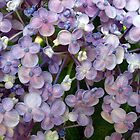 PURPLE HYDRANGEA by Joan Harrison