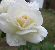 Pure Wonder Rose by MarianBendeth