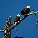 A pair of bald eagles on the Bitterroot River by amontanaview