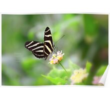 """ Zebra Longwing "" Poster"