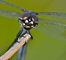 Four-spotted Pennant by Nick Conde-Dudding