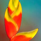 Heliconia by Mukesh Srivastava