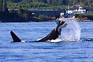 Orcas hunting by zumi