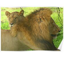 A Pair of Male & Female Lions in Kruger National Park Poster