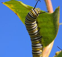 Monarch Caterpillar    by naturalnomad