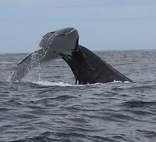 Humpback Whale, Plettenberg Bay, South Africa by Pauline Andrews