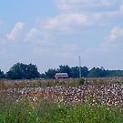 Cotton Anyone? by PhyllisAnne Pesce