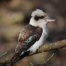 laughing kookaburra by Tamara Cornell