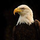 American Bald Eagle by Arjuna Ravikumar