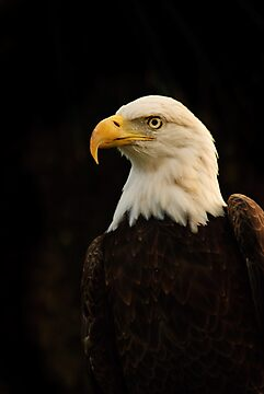 American Bald Eagle by Arjuna Ravikumar